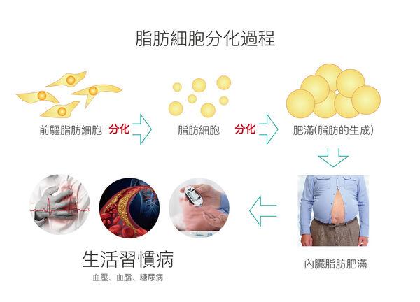 脂肪細胞分化過程