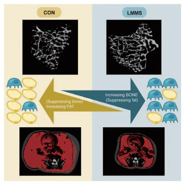 間葉幹細胞分化-刺激骨細胞-不會發育脂肪細胞